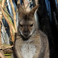 Police hop to it to catch wallaby
