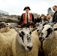 Sheep hold up traffic in London