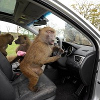 Hyundai copes with monkey business