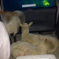 Lambs caught up in baa-rmy car chase